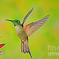 Fawn-breasted Brilliant Hummingbird by Anthony Mercieca