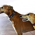 Fawn Greyhound Dogs Profile by Sally Rockefeller