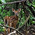 Fawn In The Woods by Nick Sikorski