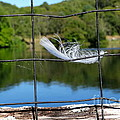 Feather And Fence by Ed Weidman