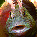 Feather Blenny - A Fish  by Paul Ward