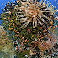 Feather Star (crinoidea by Jaynes Gallery