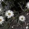 Feathered Daisy  by Cathy Anderson