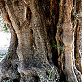 Featured Old Ancient Olive Tree Almeria Spain  by Colette V Hera  Guggenheim
