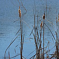 February Cattails by Maria Urso