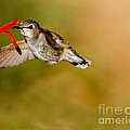 Feeding Anna's Hummingbird by Robert Bales
