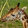 Feeding Giraffe by Tommy Anderson
