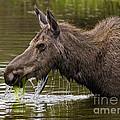 Feeding Moose by J L Woody Wooden