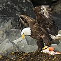 The Ultimate Bald Eagle by Ted Raynor
