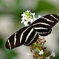 Feeding Zebra Butterfly by Richard Bryce and Family