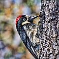 Female Acorn Woodpecker Portrait by Gregory Scott