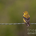 Female American Goldfinch by Douglas Stucky