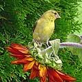 Female American Goldfinch by J McCombie