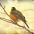 Female American Robin by James BO Insogna