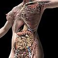 Female Anatomy, Artwork by Jose Antonio Pe??as