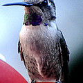 Female Anna With Purple Blue Throat by Jay Milo