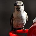 Female Anna Hummingbird by Jay Milo