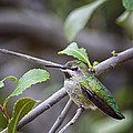 Female Anna's Hummingbird by Phill Doherty