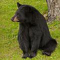 Female Black Bear by Brenda Jacobs