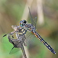 Female Blue Dasher In July  by Neal Eslinger