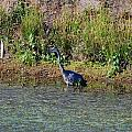 Female Blue Heron  by Mary Griffin