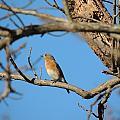 Female Bluebird by Matt Taylor