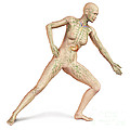 Female Body In Dynamic Posture by Leonello Calvetti