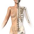 Female Body With Bone Skeleton by Leonello Calvetti