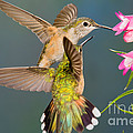 Female Broad-tailed Hummingbird by Anthony Mercieca