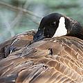 Female Canadian Goose Nesting by John Magyar Photography