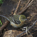 Female Cape May Warbler by Gary Hall