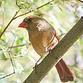 Female Cardinal by Amy Porter