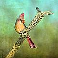 Female Cardinal by Barbara Manis