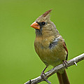 Female Cardinal by Claudio Bacinello
