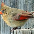 Female Cardinal by David G Paul