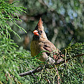 Female Cardinal In A Pine Tree - 06.10.2014 by Jai Johnson