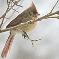 Female Cardinal In Snow 02 by Shelly Gunderson