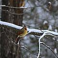 Female Cardinal In Snow by Steve Samples