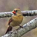 Female Cardinal Reigns In The Rain  by Constantine Gregory