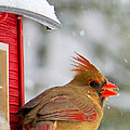 Female Cardinal In The Snow by Karen English