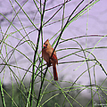Female Cardinal In Willow by Ericamaxine Price