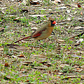 Female Cardinal by Kim Pate