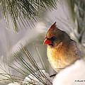 Female Cardinal Nestled In Snow by Randall Branham