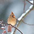 Female Cardinal On Cherry Tree In Snow by Kristin Hatt