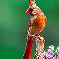 Female Cardinal Posing Pretty  by Randall Branham