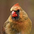 Female Cardinal by Sandi OReilly