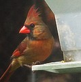 Female Cardinal by Stacey Pollio