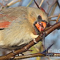 Thorns And Berries - Cardinal by Robert Frederick