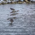 Female Common Mergansers by Jack R Perry