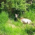 Female Deer Resting by Cynthia Woods